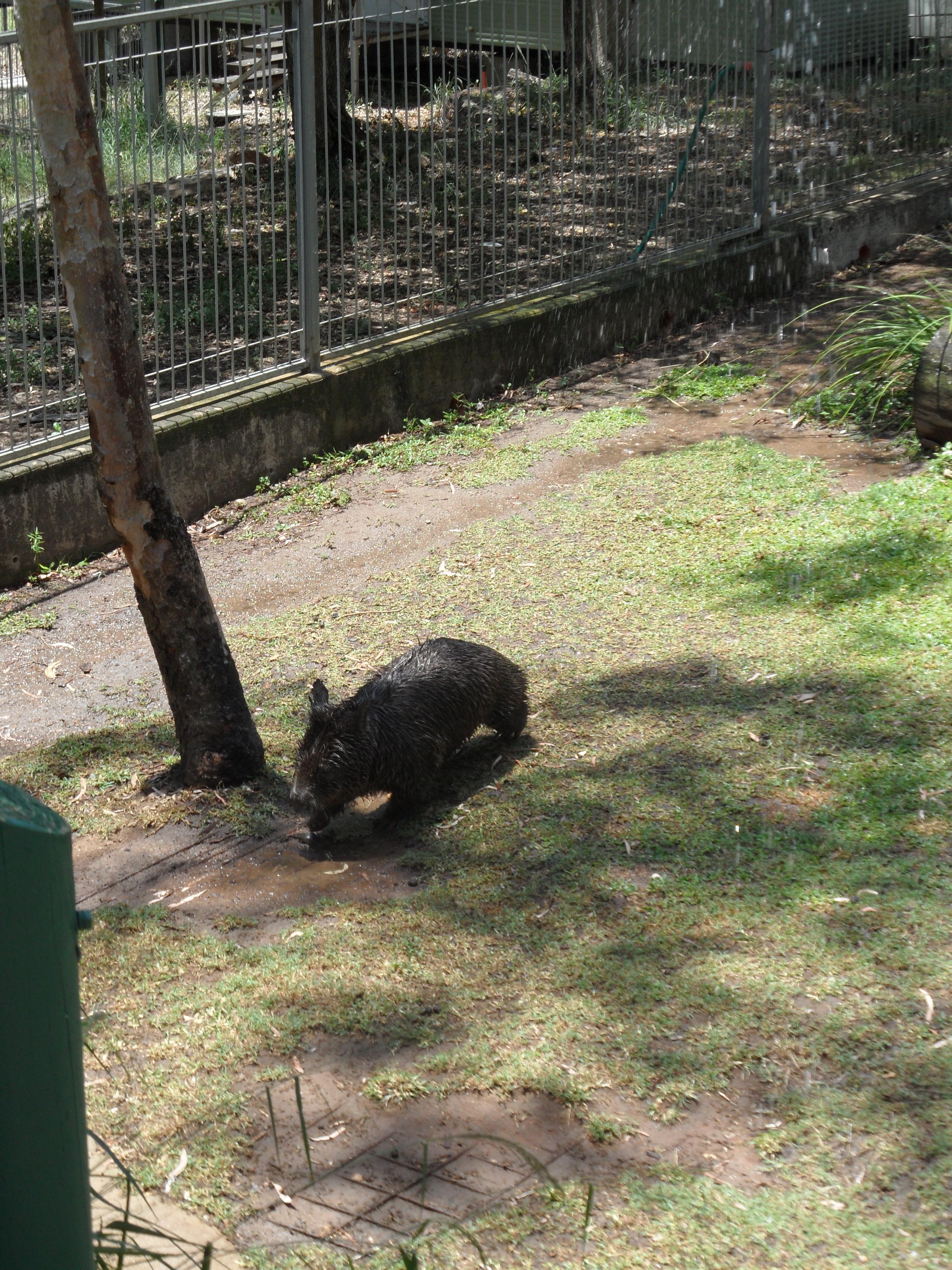 Rockhampton Zoo - Wombat
