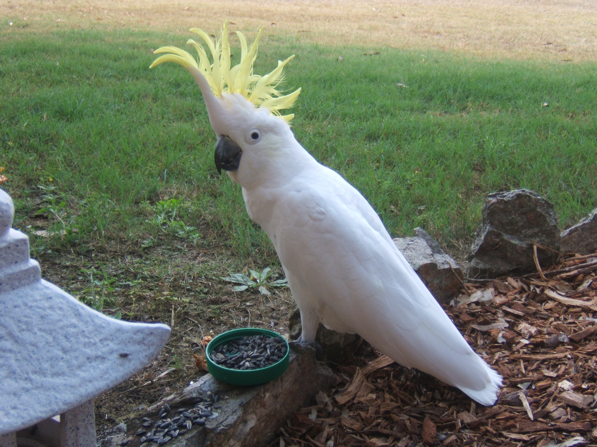 cockatoo 003